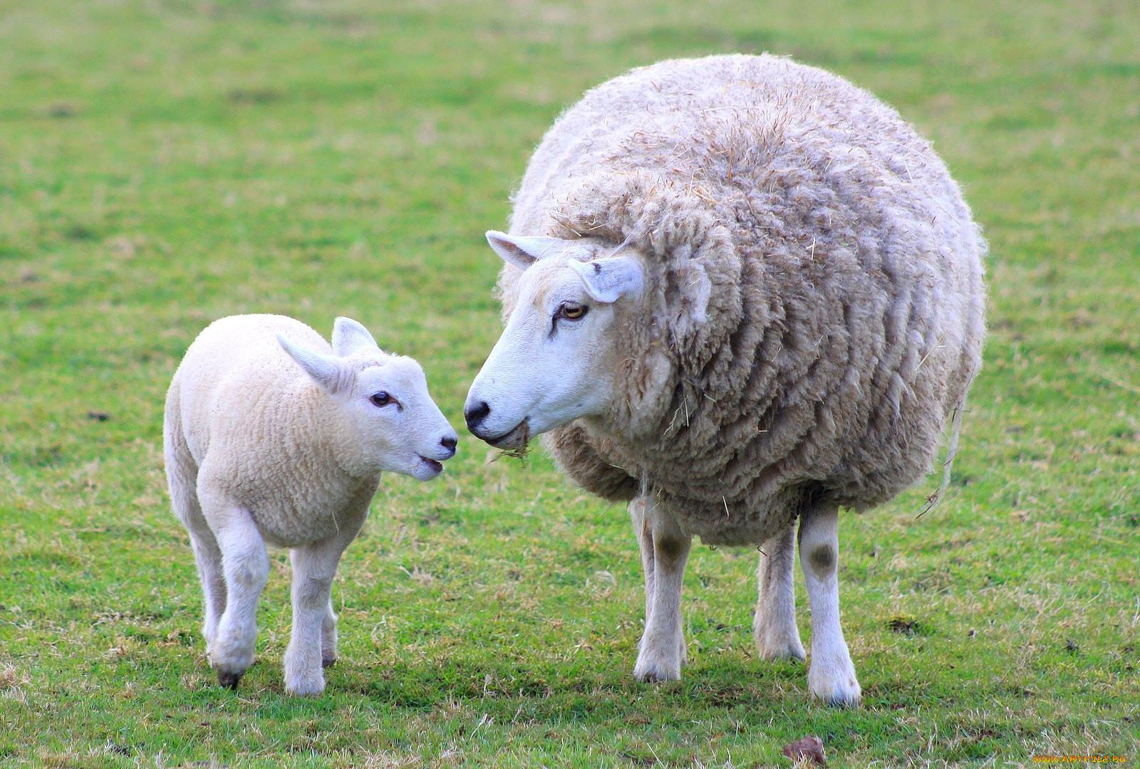 Овцы бараны обои для рабочего стола